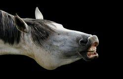 Horse, Mane, Horse Like Mammal, Head Royalty Free Stock Photo