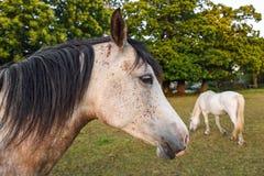 Horse, Mane, Horse Like Mammal, Mare Stock Photo