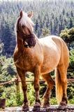 Horse, Mane, Horse Like Mammal, Mare Royalty Free Stock Photos