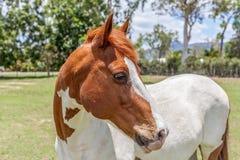 Horse, Mane, Horse Like Mammal, Mare Royalty Free Stock Image