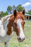 Horse, Mane, Horse Like Mammal, Mare Stock Photos