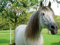 Horse, Mane, Horse Like Mammal, Mare Stock Images