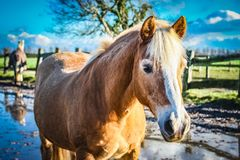 Horse, Mane, Horse Like Mammal, Mustang Horse Royalty Free Stock Photos