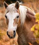 Horse, Mane, Horse Like Mammal, Mustang Horse Stock Photo