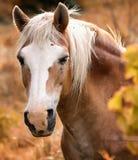 Horse, Mane, Horse Like Mammal, Mustang Horse Stock Image