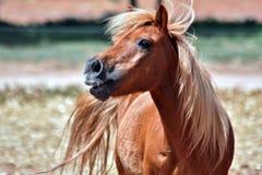 Horse, Mane, Horse Like Mammal, Stallion Royalty Free Stock Photos