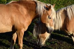 Horse, Mane, Mare, Horse Like Mammal Stock Photography