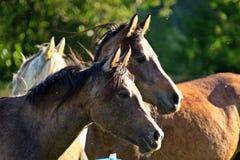 Horse, Mane, Mare, Horse Like Mammal Royalty Free Stock Photos