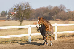 Horse in manege outdoor Stock Image