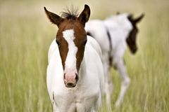Horse mare and colt Saskatchewan Field Royalty Free Stock Photo