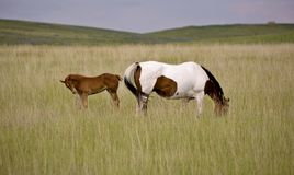 Horse mare and colt Saskatchewan Field Royalty Free Stock Photography