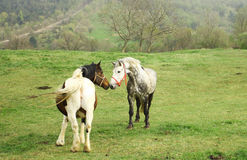 Horse and mare on the farm Royalty Free Stock Images