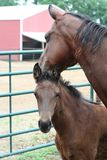 Horse mare and foal. A chestnut brown mare and foal in an outdoor enclosure royalty free stock photo