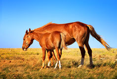 Horse Mare with Foal mother and baby Farm Animal on field. With blue sky on background saving nature ecology concept Royalty Free Stock Photography