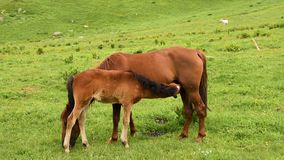 Foal eats milk from horse mare