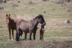 Horse, mare with a foal. Stock Image
