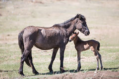 Horse, mare with a foal. Stock Photography