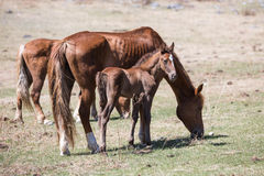 Horse, mare with a foal. Stock Photo