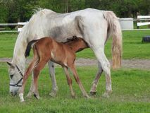Horse, Mare, Foal, Pasture Royalty Free Stock Image