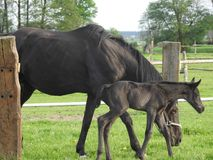 Horse, Mare, Foal, Pasture Royalty Free Stock Images