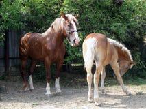 Horse, Mare, Horse Like Mammal, Stallion