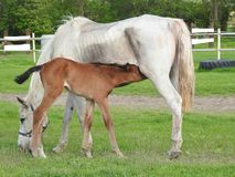Horse, Mare, Pasture, Foal Royalty Free Stock Images