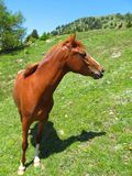 Horse mare stallion foal pony in green field pasture. A russet horse in a green pasture shows off his noble profile. The sky is a cloudless blue Royalty Free Stock Photos