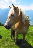 Horse mare stallion pony foal in green field in Alps. A horse stands in profile against a backdrop of snowcapped Alpine mountains Royalty Free Stock Photo