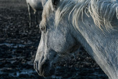 Horse in the marsh mud. A horse walking the muddy marsh in the Camargue in the south of France stock photography