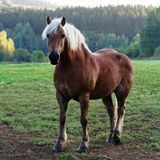 Horse in meadow. A brown horse in a meadow of green grass Stock Photography