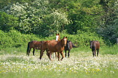 Horse in meadow. Group of horse in meadow with forest in background Stock Photo