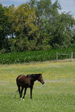 Horse in Meadow Royalty Free Stock Images