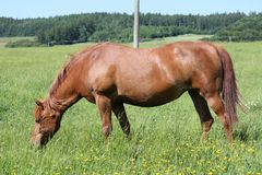 Horse on the meadow Royalty Free Stock Photos
