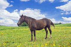 Horse on the meadow Stock Photography