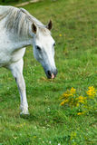 Horse in the meadow Royalty Free Stock Image