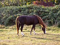 Horse on the meadow Stock Images