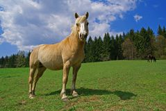 Horse on a meadow. Beige horse  on a green meadow, trees and sky on the background Royalty Free Stock Images