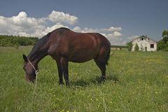 Horse on a Meadow Stock Photography
