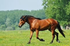 Horse in the meadow. Beautiful brown horse running in the meadow Royalty Free Stock Photography