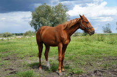 Horse in the meadow Royalty Free Stock Photo