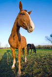 Horse in a meadow Royalty Free Stock Photos