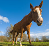 Horse in a meadow Stock Images