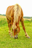 Horse on a meadow Royalty Free Stock Photography