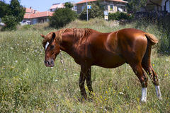 Horse in the meadow. Broun horse in the meadow Royalty Free Stock Photo