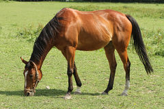 Horse on the meadow. Brown horse grazes in a meadow Royalty Free Stock Images