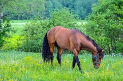 Horse on meadow Royalty Free Stock Photography