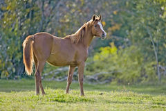 Yearling Arabian in meadow Royalty Free Stock Photos