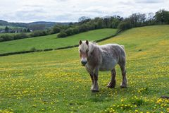 Horse in meadow covered with yellow dandelions Royalty Free Stock Photo