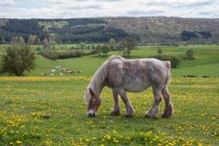 Horse in meadow covered with yellow dandelions Stock Image