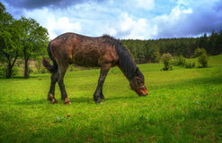 Horse in a meadow. Horse eat grass in a meadow Royalty Free Stock Photography